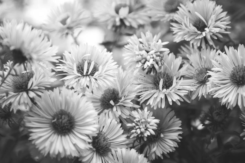 Autumn chrysanthemums, black and white photography. Beautiful wallpaper for your desktop or smartphone. Closeup royalty free stock images