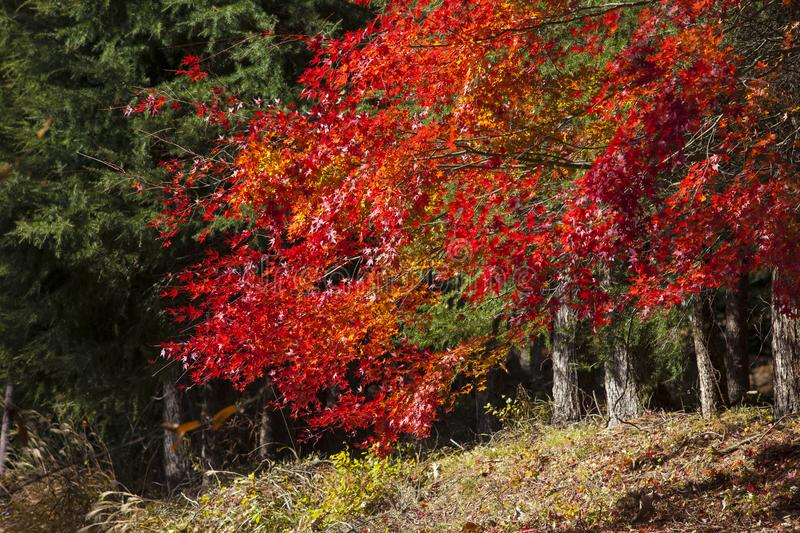 Autumn color change is season colorful with red leaves alternate. S beautiful blue sky nature background in Kawaguchigo Japan stock photography