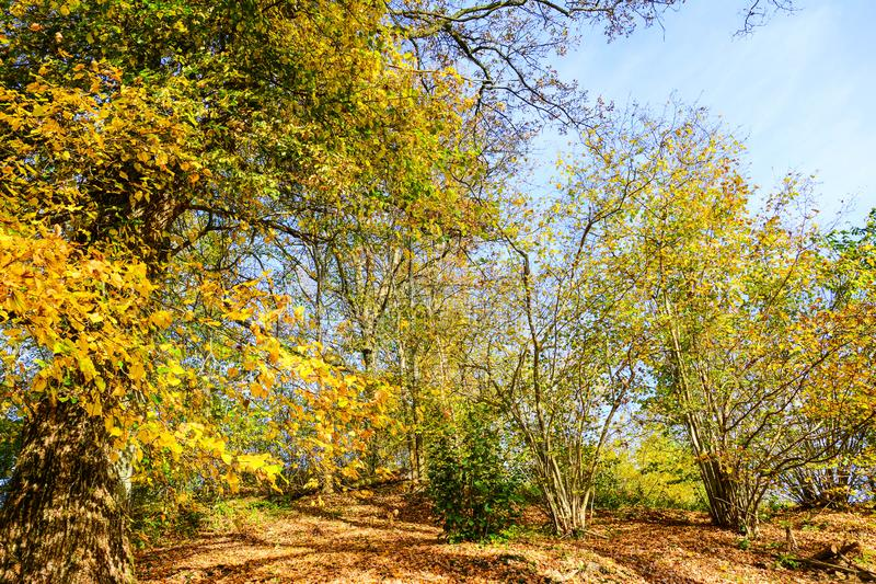 Autumn color in the cold morning the trees are full of beautiful leaves. The last days the leaves are beautiful in dark beautiful colors, the forest stands and royalty free stock image