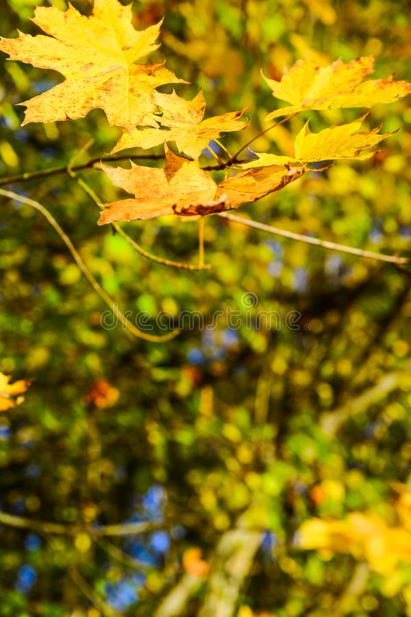 Autumn color in the cold morning the trees are full of beautiful leaves. The last days the leaves are beautiful in dark beautiful colors, the forest stands and royalty free stock images