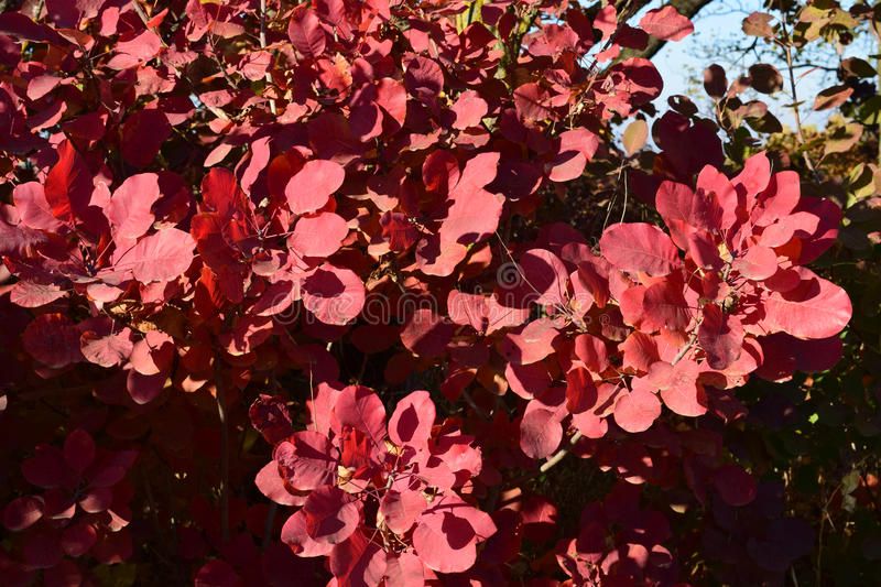 Autumn color leaves of cotinus coggygria. Autumn red color of leaves of cotinus coggygria. Paints of fall stock image