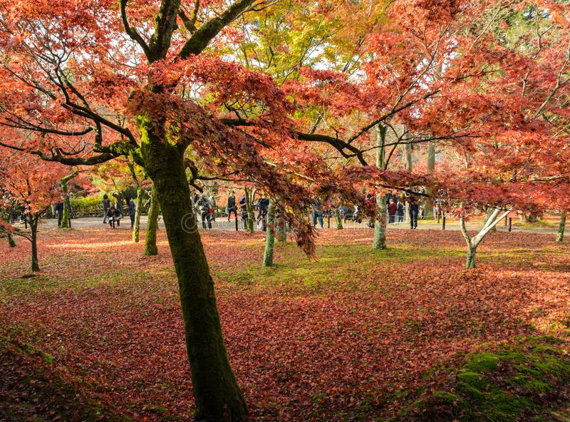Autumn color leaves at Tofukuji temple in Kyoto, Japan. Autumn maple garden at peak color leaves at Tofukuji temple in Kyoto, Japan. Photo taken on November 22 royalty free stock photos