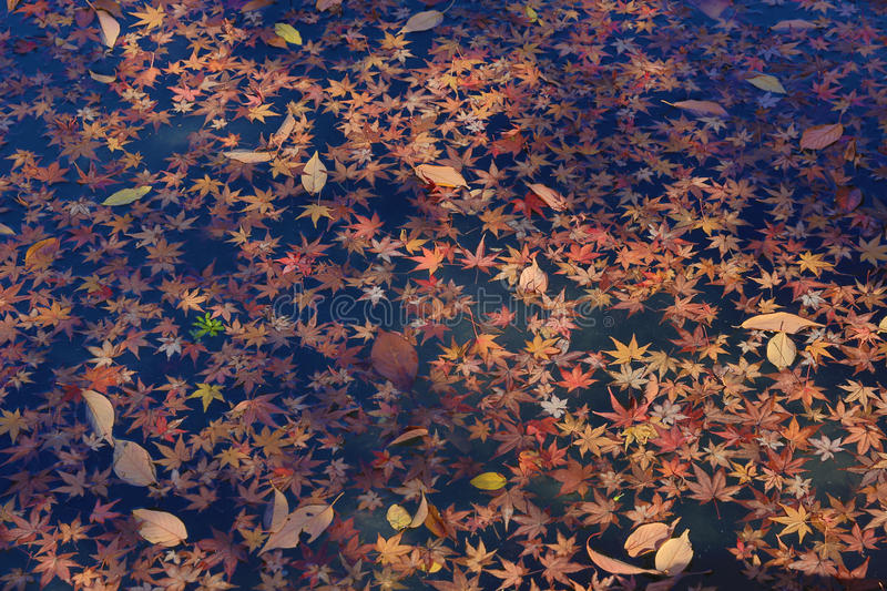 Autumn color leaves on the water. Close up of colorful leafs with fall color royalty free stock image