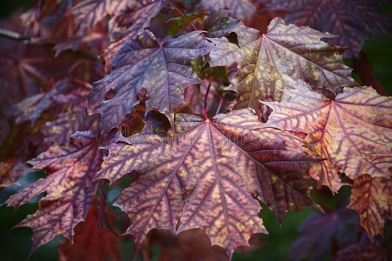 Autumn color of maple leaves. Texture and graphics. Close-up. Trees in the forest. Park and sunny day. stock images