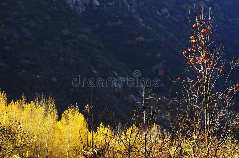 Autumn color of Qinling. Yellow poplar leaves at the North foot of Qinling Mountains in Autumn,Huxian,XiAn,ShhanXi,China royalty free stock photos