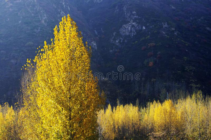 Autumn color of Qinling. Yellow poplar leaves at the North foot of Qinling Mountains in Autumn,Huxian,XiAn,ShhanXi,China royalty free stock images