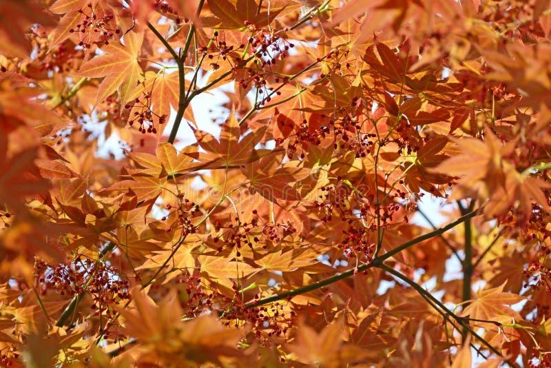 Autumn Color Tree Leaves al parco nazionale di Bukhansan, Corea fotografia stock