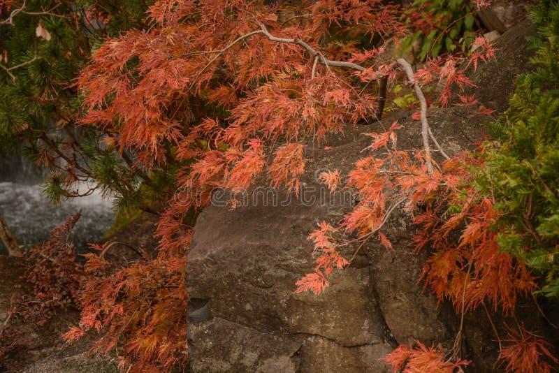Autumn Color In un jardin japonais image stock