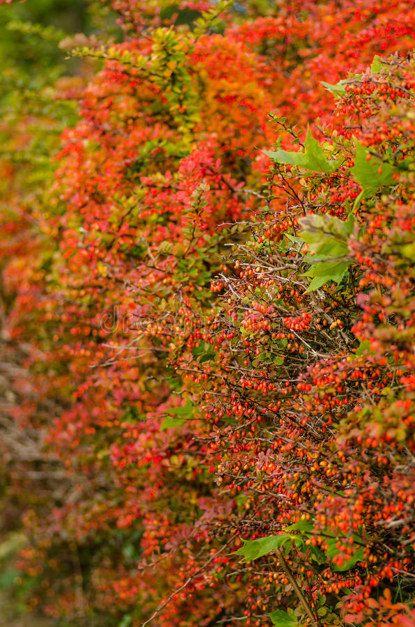Autumn colored barberry hedgerow stock images