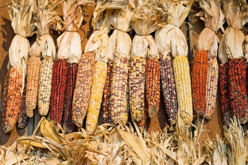 Autumn colored corn royalty free stock photos