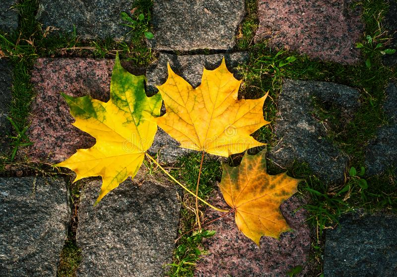 Maple leaves in the light of sunlight fell on the stone blocks with moss. Autumn colored leaves on asphalt in the sunny weather stock photography