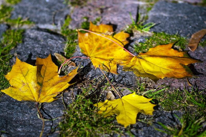 Maple leaves in the light of sunlight fell on the stone blocks with moss. Autumn colored leaves on asphalt in the sunny weather royalty free stock image