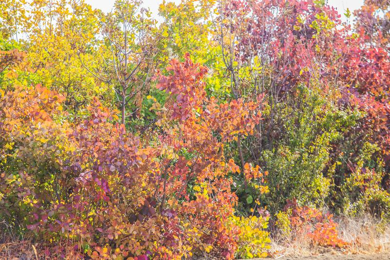 Autumn colored leaves on the bushes. In the afternoon stock photo