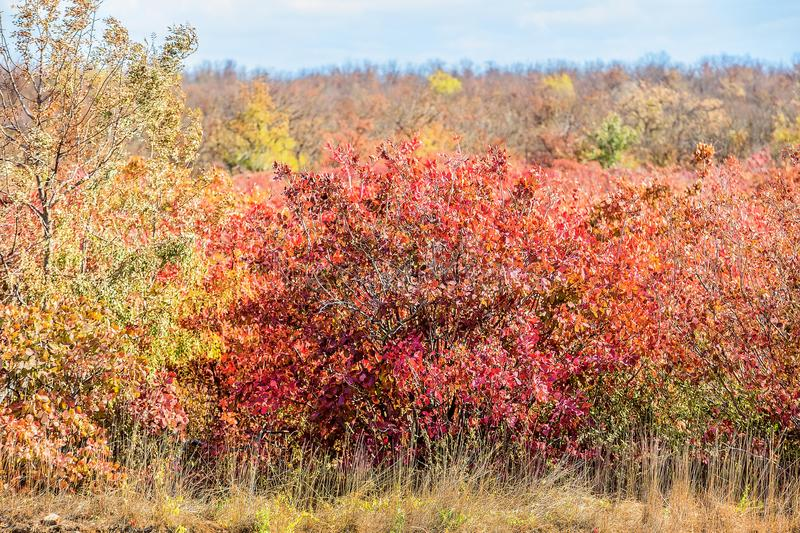 Autumn colored leaves on the bushes. In the afternoon stock image