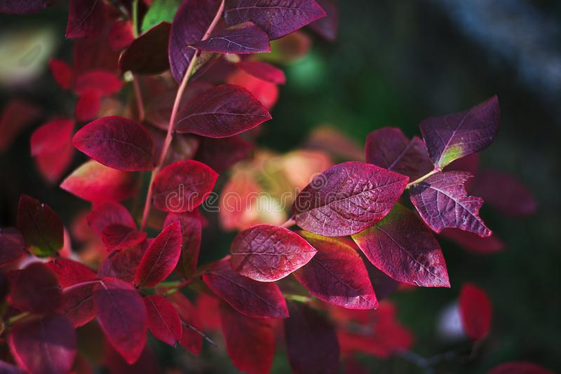 Autumn-colored leaves of Canadian blueberries royalty free stock images