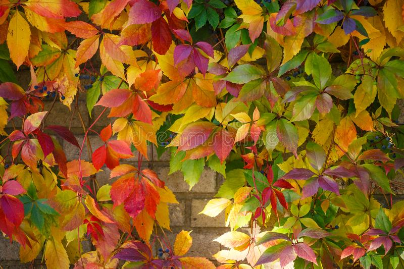 Parthenocissus tricuspidata on a ancient brick wall stock images