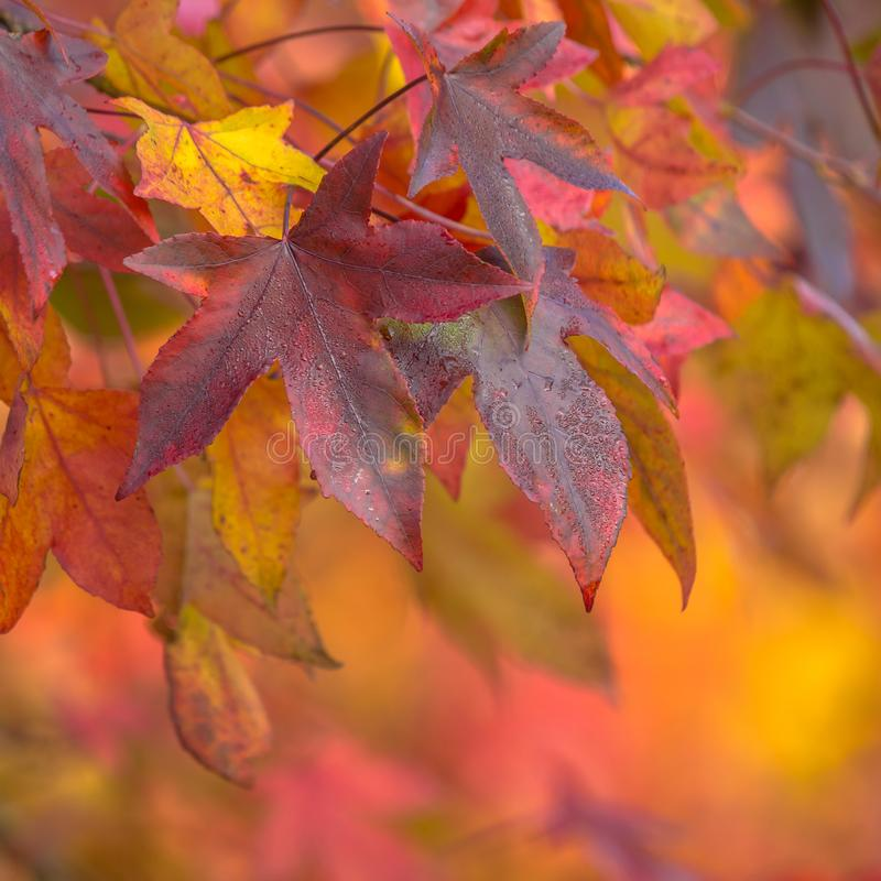 Autumn colored maple leaves. Purple, red and orange colored maple leaves in autumn season scene stock photography