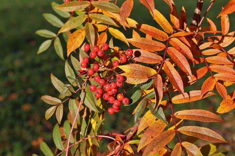 Autumn colored mountain ash. A beautiful autumn day when the sun shines over red rowan berries royalty free stock image