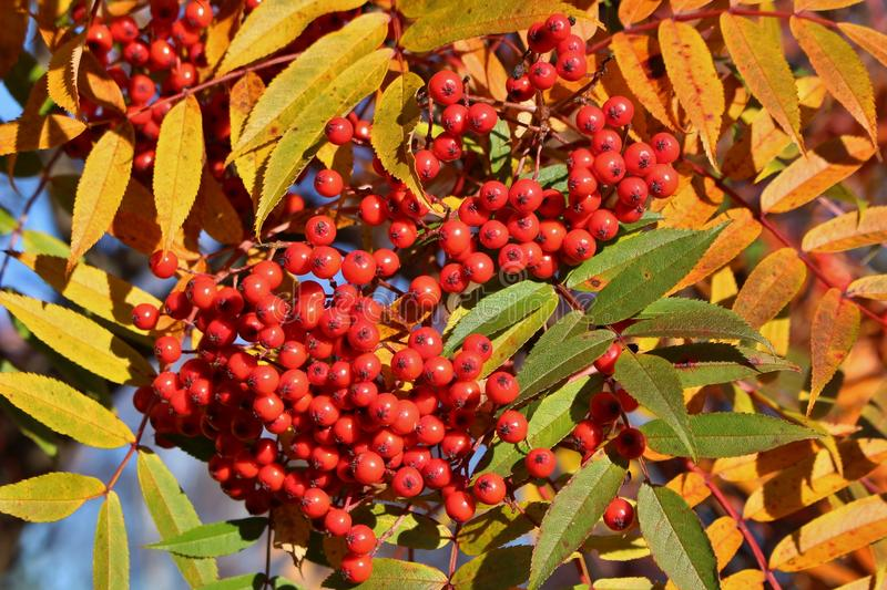 Autumn colored mountain ash. A beautiful autumn day when the sun shines over red rowan berries stock image