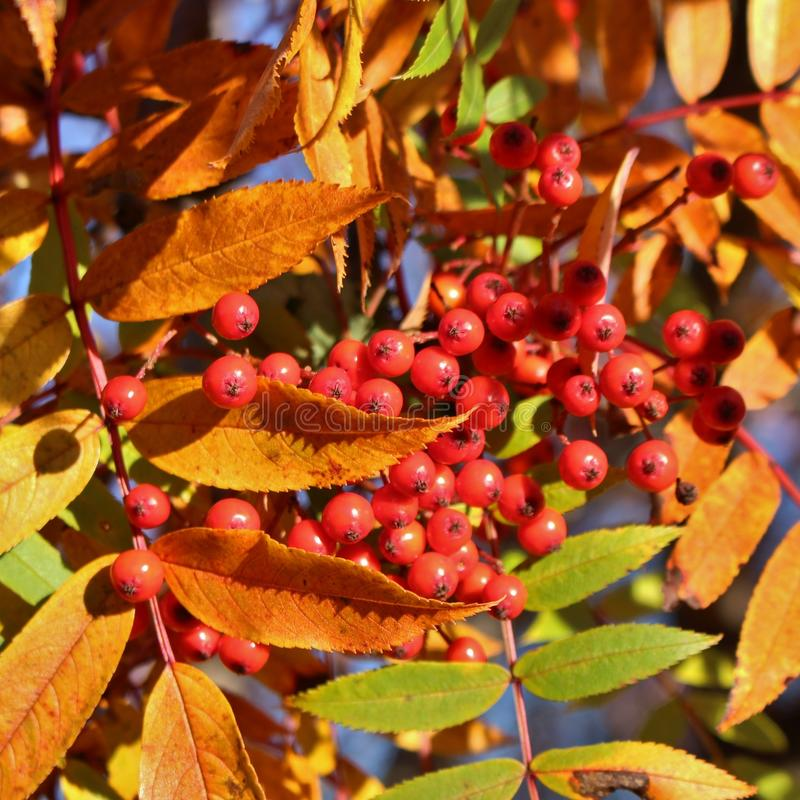 Autumn colored mountain ash. A beautiful autumn day when the sun shines over red rowan berries royalty free stock photo