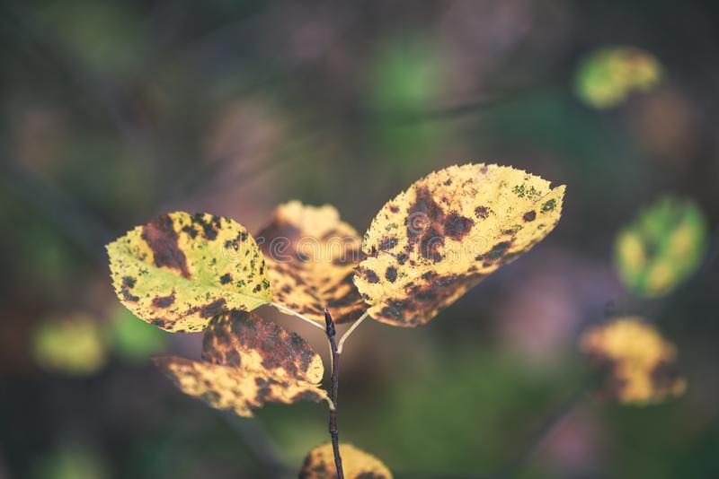 Autumn colored old leaves on blur background - vintage film loo. Autumn colored old leaves on blur background in wet forest - vintage film look stock photography