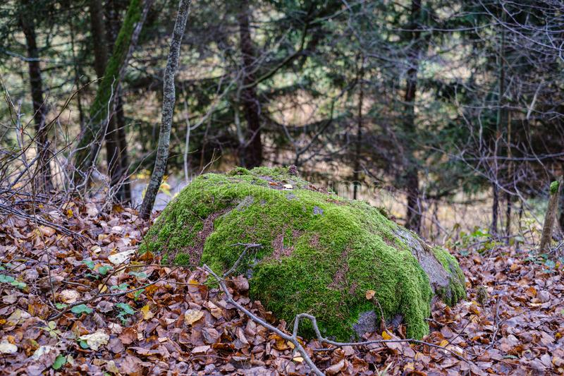autumn colored tree leaves on large rock in forest stock photos