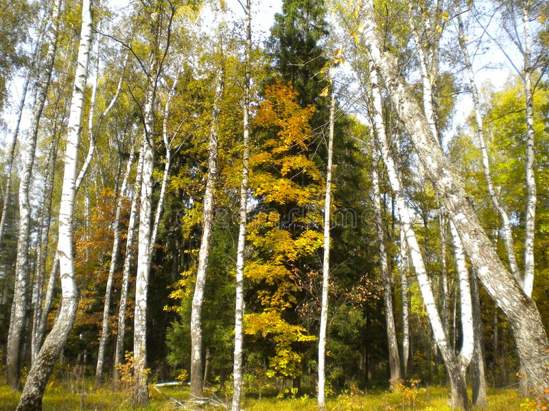 Autumn colored trees, quiet forest, yellow birch, nature royalty free stock photography