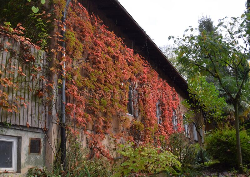 Autumn colored vines covering the facade. Of a building, city park Stadtpark Lahr, Baden Ortenau Germany stock photo