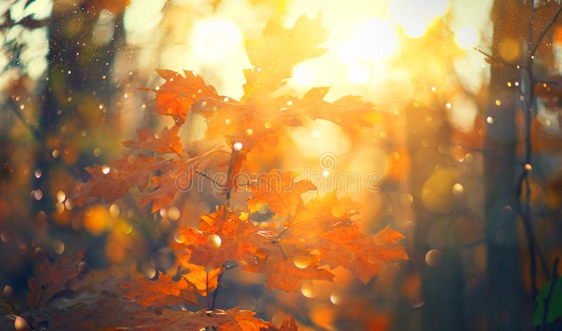 Autumn colorful bright Leaves swinging in a tree in autumnal Park. Autumn colorful background, fall backdrop. Backlit, sun flare. Beautiful nature scene royalty free stock photography