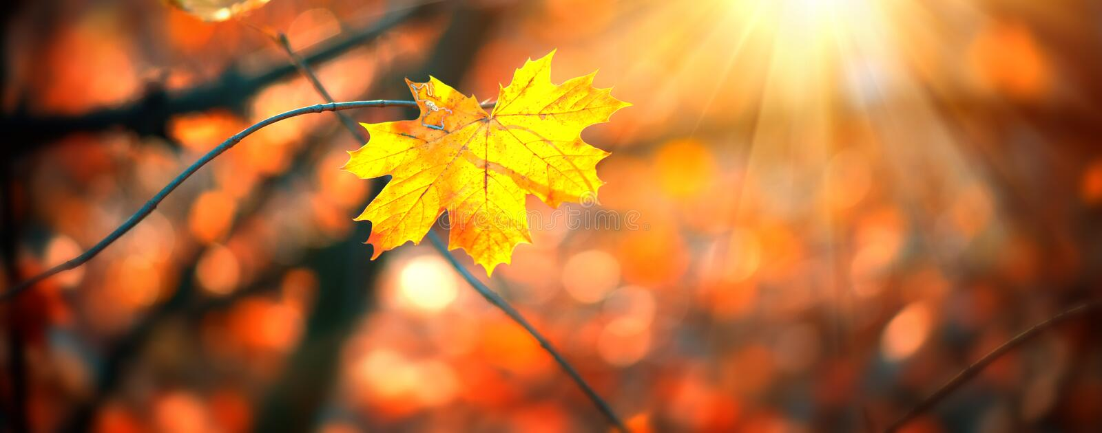Autumn colorful bright Leaves swinging in a tree in autumnal Park. Autumn colorful background, fall backdrop. Backlit, sun flare. Beautiful nature scene royalty free stock images