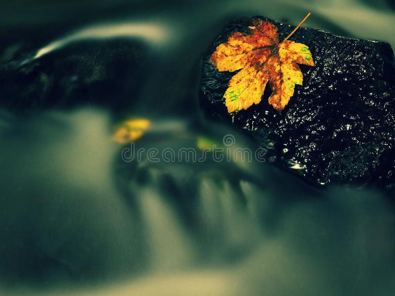 Autumn colorful leaf. Castaway on wet slipper stone in stream. Autumn colorful maple leaf. Castaway rotting on wet slipper stone in stream royalty free stock photos