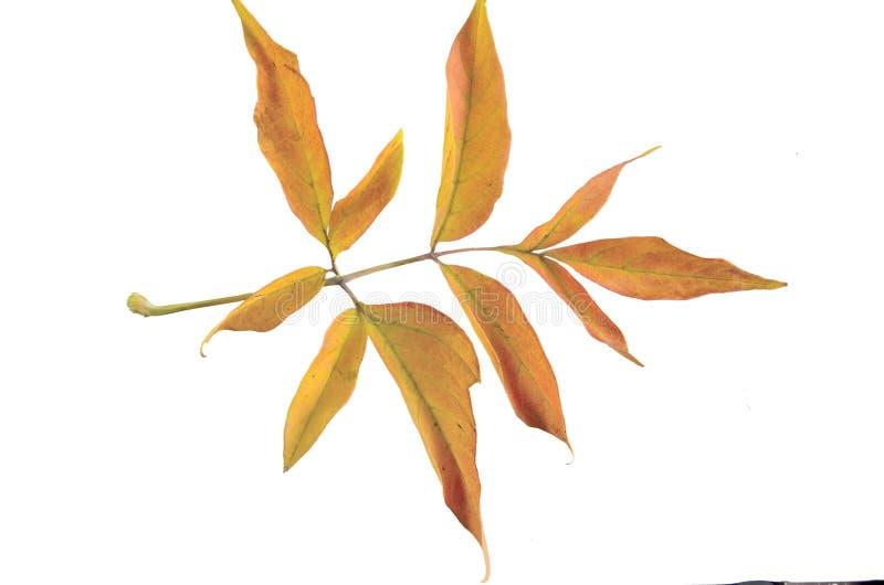 Autumn colorful leaves of ash-leaved marple Acer negundo isola royalty free stock images