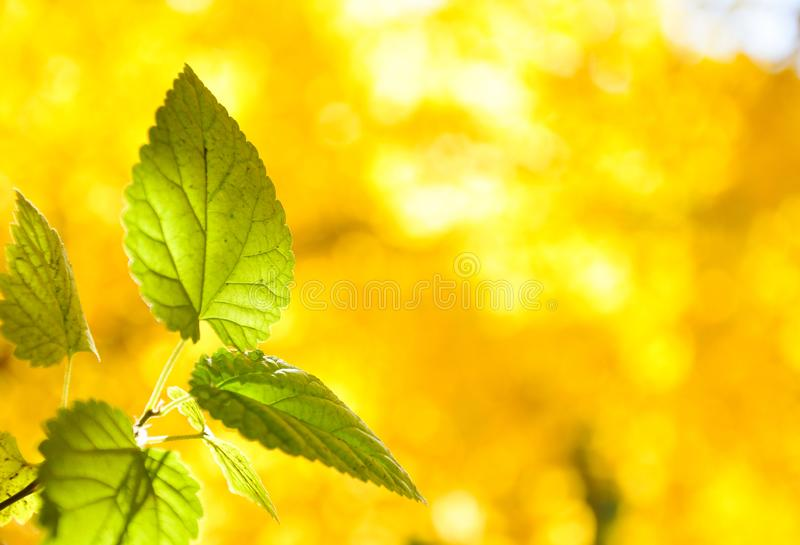 green leaves with sunshine royalty free stock photos