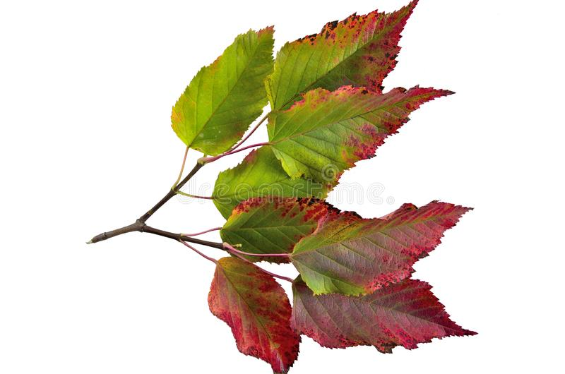 Autumn colorful leaves of tatarian maple Acer tataricum isolat stock images