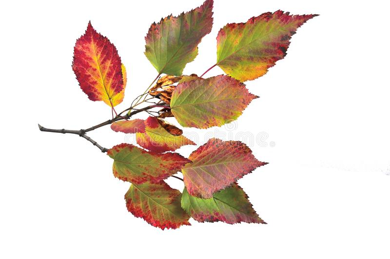 Autumn colorful leaves of tatarian maple Acer tataricum isolat royalty free stock photography