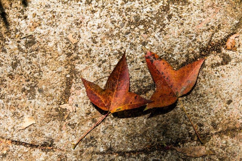 Autumn Colorful Maple Leaves Lying caido en la tierra imágenes de archivo libres de regalías