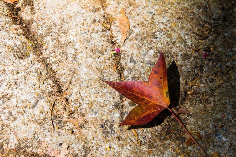 Autumn Colorful Maple Leaves Lying caido en la tierra fotos de archivo