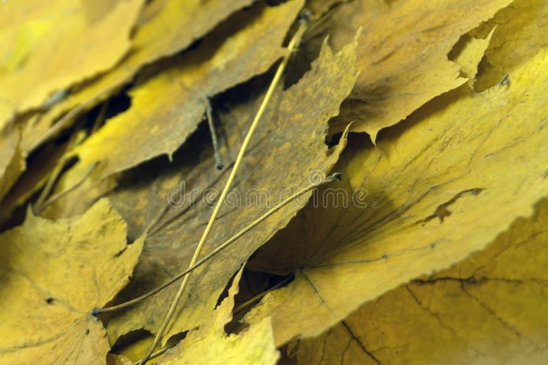 Autumn colorful red maple leaf of Japanese garden from under the maple tree. stock image