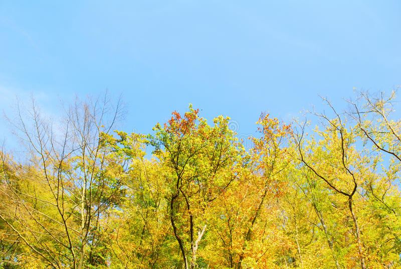 Autumn colorful trees and blue sky. Autumn colorful trees and light blue sky royalty free stock image
