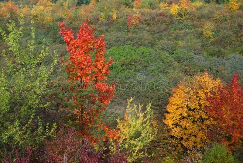 Autumn colorful trees. Autumn trees and bushes colored in yellow and red royalty free stock image