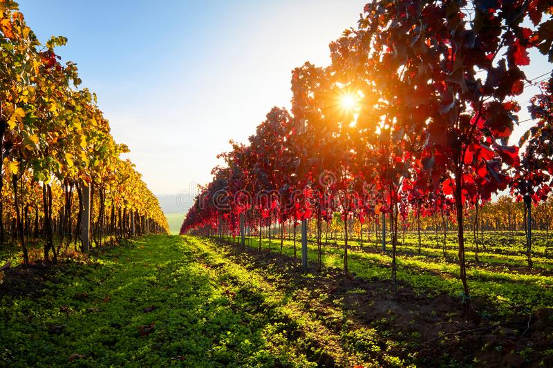 Autumn colorful vineyard with sunbeams at sunset. stock images