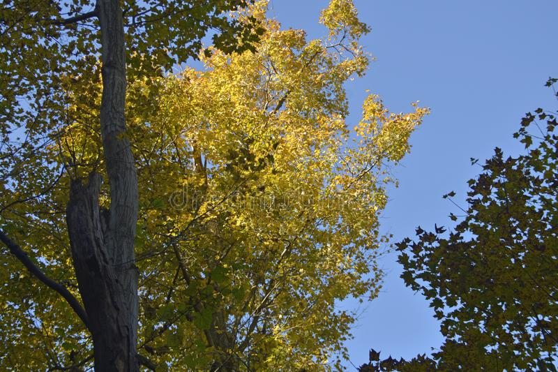 Fall colors on elm tree in the forest stock photo