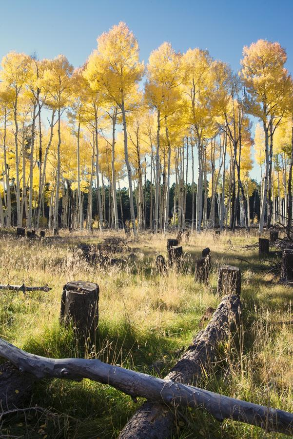 Autumn Colors i Aspen Forest arkivfoto