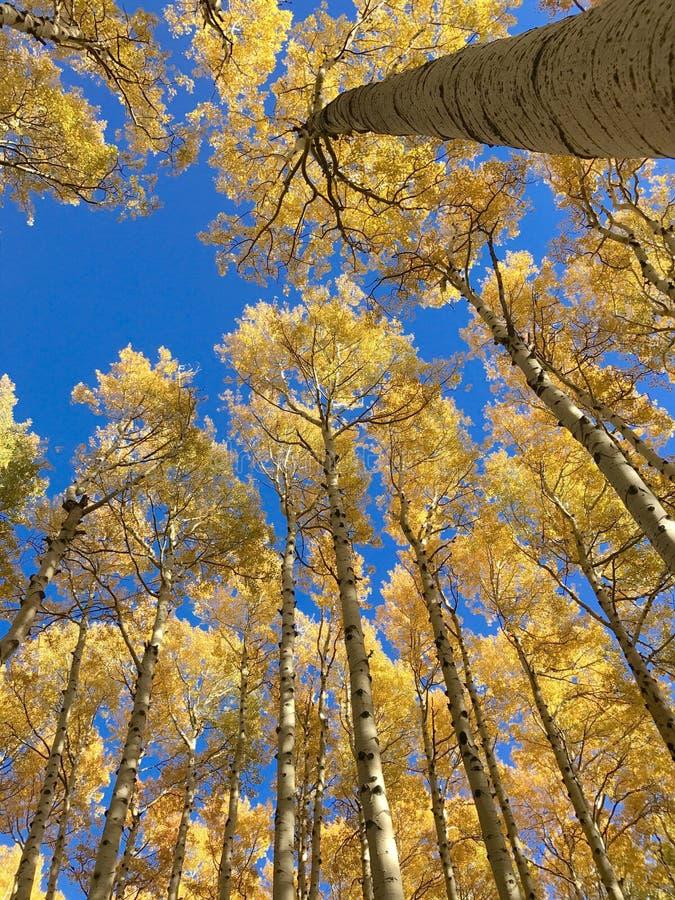 Autumn Colors i Aspen Forest royaltyfria foton