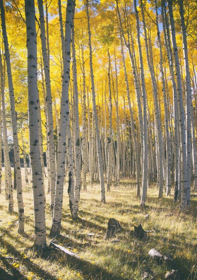 Autumn Colors i Aspen Forest arkivfoton