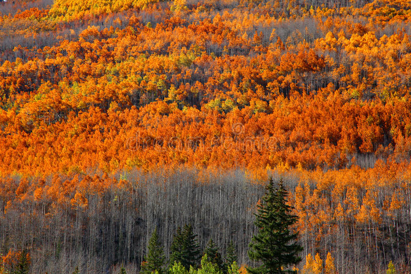 Autumn colors at its peak. In Colorado stock photos
