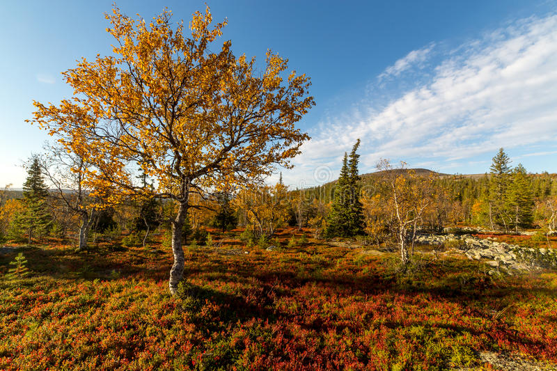 Autumn colors in Lapland. Rich autumn colors in Lapland royalty free stock photography