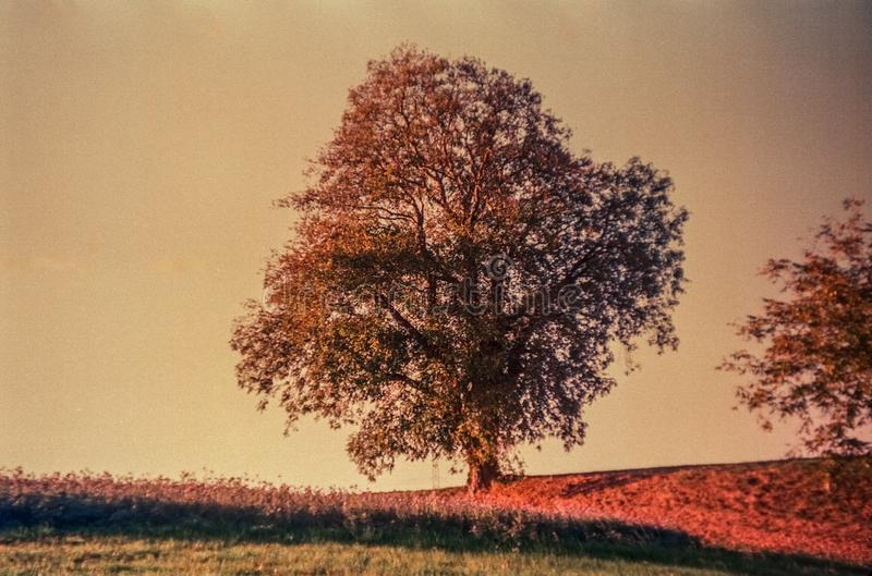 Autumn colors and lonely tree in the Swiss fields and countryside with analogue photography - 1 royalty free stock photos