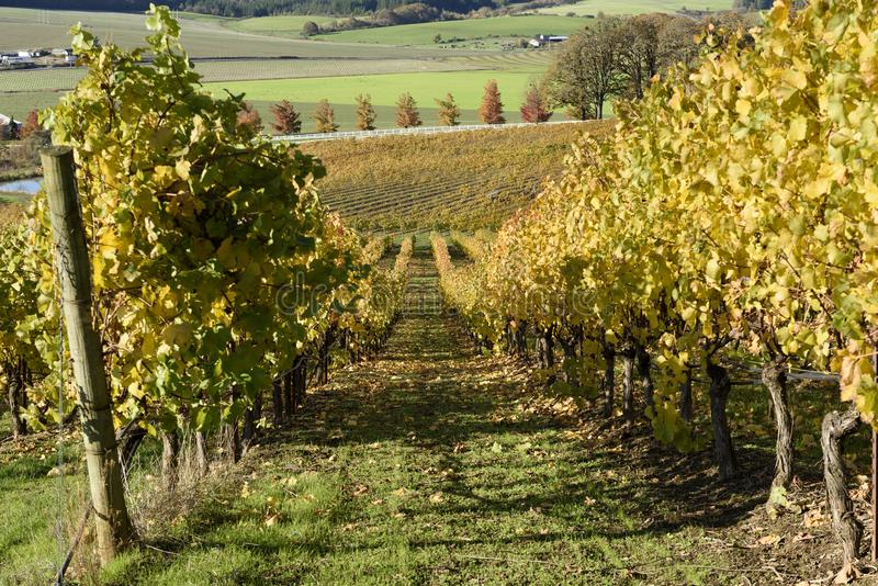 Sunny Fall Afternoon in Oregon Wine Country. Autumn Colors of Mid-Willamette Valley Vineyards royalty free stock photo