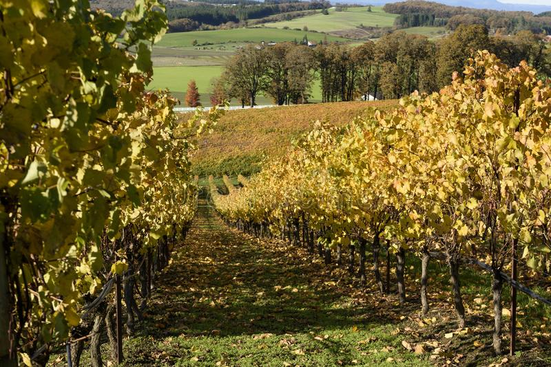 Sunny Fall Afternoon in Oregon Wine Country. Autumn Colors of Mid-Willamette Valley Vineyards stock image